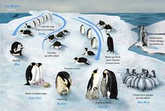 Every April 25 is World Penguin Day, but any day is a great day to learn more about penguins! You'll learn interesting penguin facts and find excellent penguin resources for an elementary classroom. Penguin Facts, Penguin Day, Penguin Life, Cat Facts, Penguin Craft, Penguin Videos, King Penguin, Animal Facts, Arctic Penguins
