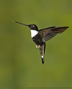 "Collared Inca Male Hummingbird.  Photo by: David Hemmings on Flickr. ""Hummingbirds"""