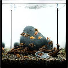 Nano aquarium with Tiger Barbs