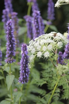 Agastache combined with Ammi