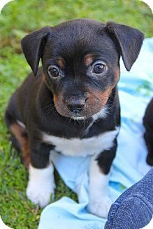 Brighton, TN - Chihuahua/Jack Russell Terrier Mix. Meet Marge (Local) a Puppy for Adoption.