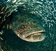goliath grouper  - a grouper is what swallowed Jonah... looking at this mouth -- I can almost see Jonah in there!!!!