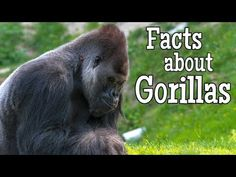Fun facts about gorillas! This learning video for kids is the classroom edition of our Gorillas for Kids video. The classroom edition videos feature the lear. Grade 3, Second Grade, Facts For Kids, Fun Facts, Ivan The Gorilla, One And Only Ivan, Book Reports, Book Study, Home Learning
