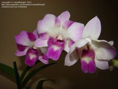 Bloom for July 2, 2012: Dendrobium Kultana.  Photo by carpathiangirl.