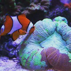 Sam Igo has shared his favourite clown/coral picture from his Triton run reef with us.... #clownlove #clownfish #nemo #greatbarrierreef #australia #sps #lps #coral #reef #trachy #clown #saltwateraquarium #saltwatertank #marineaquarium #marine #CoralReef #symbiotic #fish #instafish #tritonreef #triton #tritonmethod by triton_applied_reef_bioscience http://ift.tt/1UokkV2