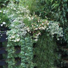 Collection Jardinière Blanche - 7 variétés d'annuelles Gaura, Herbs, Green, Rabbit, Paradise, Collection, Mini, Shopping, Gardens