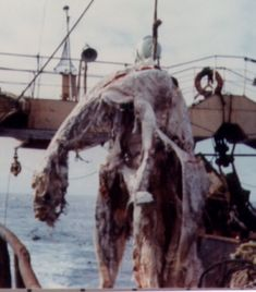 This carcass was accidentally caught in 1977 off the coast of New Zealand by the Japanese fishing trawler Zuiyō Maru. Before tossing this creature overboard due to the stench, measurements and a few tissue/bone samples were taken. Analysis since determined it may be a decomposed basking shark