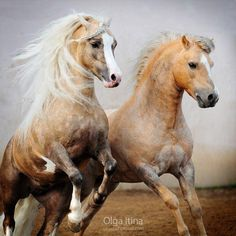 Gorgeous dapple palominos with great chest anatomy showing; the lower part of the pectoral muscle shows, going from the sternum to the inner part of foreleg . These are Welsh ponies.