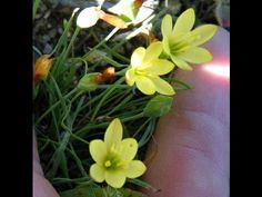 Geissorhiza ornithogaloides - small wine-cup species Rare Wine, Rare Species, Bulb Flowers, Wines, Beverages, Plant