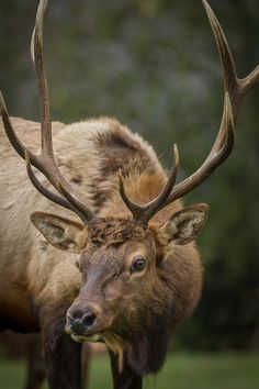 Photographing Roosevelt Elk at Elk Country, California - Anne McKinnell Photography Large Animals, Animals And Pets, Cute Animals, Exotic Animals, Wild Animals, Baby Animals, Elk Pictures, Deer Photos, Amazing Animals
