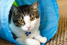 White and brown cat plays in cat tunnel