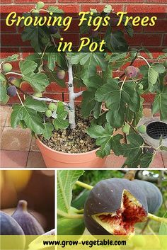 Fresh figs are some of the tastiest and easiest fruits you can grow, and fig trees are incredibly attractive with their uniquely shaped green foliage even when they trees aren't fruiting. Fig trees… Source by lashawnbryant Veg Garden, Fruit Garden, Edible Garden, Garden Pots, Container Gardening Vegetables, Planting Vegetables, Growing Vegetables, Veggies, Growing Fig Trees
