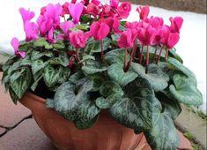 Fagytűrő növények, melyeket télen is tarthatunk a teraszunkon! Peperomia, Plants, Garden, Begonia