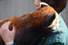 とくしま動物園 しらたま Shiratama at Tokushima zoo  Red pandas レッサーパンダ 小熊猫