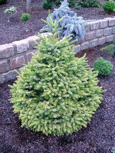 Picea Omorika 'Peve Tijn'...