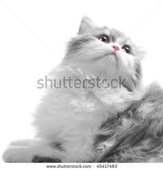 White Fluffy Classic Persian Cat Looking Back Isolated On White