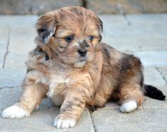 My new peekapoo puppy whiskey! Fluffy Puppies, Cute Puppies, Peek A Poo, Cute Small Dogs, Mini Dogs, Poodle Mix, Pekingese, Mans Best Friend, Fur Babies