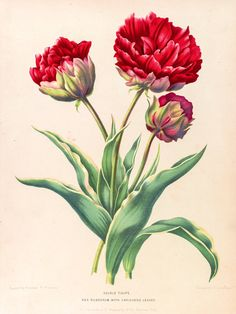 Tulip botanical poster. Botanical print. Tulip by ariadnathread