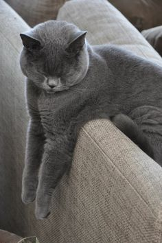 Phineas, our 2yr old British Shorthair sleeps in the most peculiar positions.