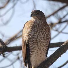 Raptor encounter. #yearofthebird #birdsofinstagram #chsbirding #charlestonbirding #hawk @audubon_sc