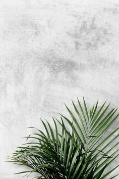 Areca palm on gray background ,