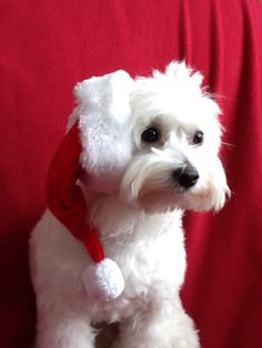 Maltese Dog A6 Christmas Card Design XMALTESE-2 by paws2print