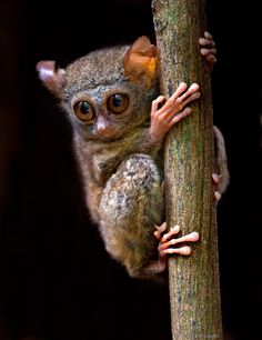 "500px / Photo ""Tarsier"" by Harprit Singh"