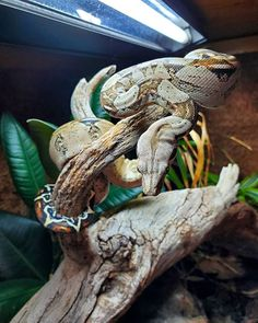ReptiFiles™ (@reptifiles) • Instagram photos and videos Photo And Video, Snakes, Hunters, Animals, Instagram, Videos, Photos, Boas, Animales