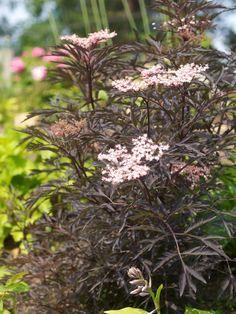 svarthyll-blomst3