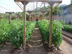 Shumway Garden Blahhhg: Gardening with Mittleider part II