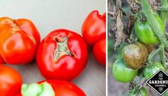 The 7 Deadly Sins of Tomato-Growing & How to Avoid Them - Gardening Channel Tips For Growing Tomatoes, Growing Tomatoes In Containers, Growing Vegetables, Grow Tomatoes, Cherry Tomatoes, Tomato Garden, Tomato Plants, Vegetable Garden, Garden Insects