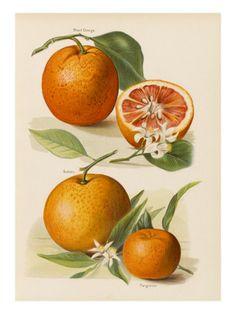 blood orange botanical drawing
