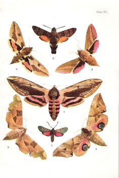 Colour print from a 1932 book on British Butterflies and Moths
