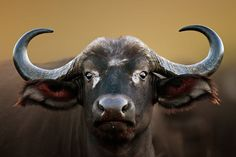 African Buffalo Cow Portrait Wall Mural wall murals and are easy to install. Buy self-adhesive African Buffalo Cow Portrait Wall Mural wallpaper by Limitless Walls. N Animals, Paper Animals, Wildlife Photography, Animal Photography, All Animals Pictures, Buffalo Painting, Buffalo Animal, African Buffalo, Interesting Animals