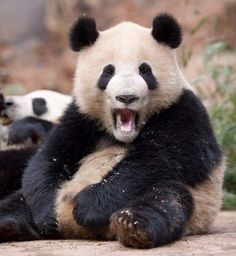 I told you not to make the bamboo cake with gluten! Cute Baby Animals, Animals And Pets, Funny Animals, Crazy Animals, Panda Love, Cute Panda, Panda Funny, Mundo Animal, My Animal