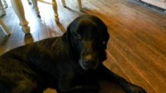 Riley is an adoptable Labrador Retriever Dog in Indianapolis, IN. My name is Riley, I am a 5 year old black lab. I'm a big boy at 69.5 pounds and foster mom says I'm handsome with my distinguishing gr...