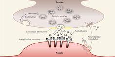 neuromuscular junction botulinum toxin