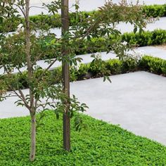 This simple green and white colour scheme is classy. Repost from @landscape.techniques  Ground cover at base of tree is Dichondra repens. . . . . . , . . #landscapeideas #gardendesigns #gardenideas #landscaping #dichondra #groundcover #paving #urbangarden Ground Cover Plants, Color Schemes, Classy, Colour, Landscape, Simple, Modern, Green, Tiles