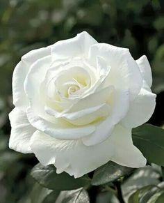 White rose ♡