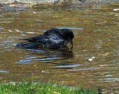 Bath Crow by Canislupuscorax.deviantart.com on @deviantART