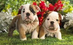 I could look at pictures of bulldog pups all day!