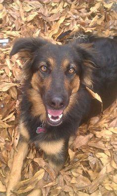 Tyra my boarder collie / shepherd, looking beautiful as always, claiming her pile of leaves.