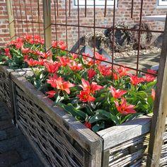 HAVEHJERNEN Tulipaner - tulips - Toronto