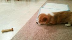 The (briefly) brave corgi. | 51 Corgi GIFs That Will Change Your Life