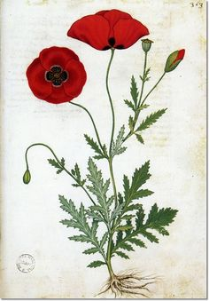 Flowers & Ferns Litho Bookplates - Andrea Amadio - Corn Poppy  Painting