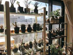 『◯⚫︎草シリーズ◯⚫︎  *  寒波の影響で冬型植物も室内へ  *  リビングが植物で溢れかえっています  *  #サボテン#多肉植物#塊根#植物#観葉植物#インテリアグリーン#선인장#다육#鉢#インテリア#植物のある暮らし#cactus#cacti#Succulent#succulents#caudiciform#caudex#plants#interiorplants#pottery#interior』tsuu★*.さんが投稿した多肉植物,サボテン科,植物のある暮らし,植物まみれの部屋コンテスト,Caudex,植中毒,多肉女子,塊根植物の画像です。 (2017月2月13日)
