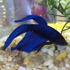 betta fish blue