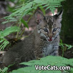 Valspar CONTEST UPDATE:  As of 10:45 am today the cats have 2,420 votes. Can You help the cats get another 500 votes today by sharing this photo with your friends and family and asking them to go to VoteCats.com to vote for Big Cat Rescue?