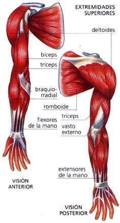 anatomia musculos del brazo - Buscar con Google                                                                                                                                                      Más