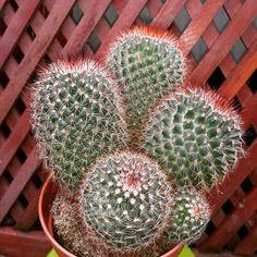 Cactus House Plants, Catus, Cactus Flower, Succulents, Flowers, Gardens, Succulent Plants, Royal Icing Flowers, Flower